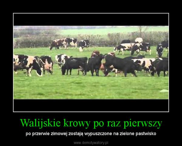 Walijskie krowy po raz pierwszy – po przerwie zimowej zostają wypuszczone na zielone pastwisko