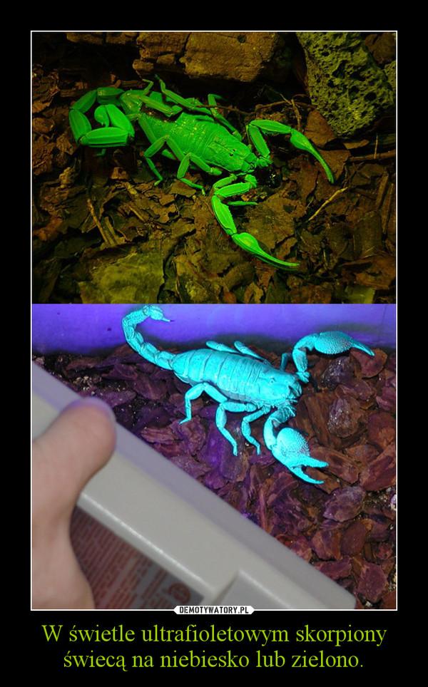 W świetle ultrafioletowym skorpiony świecą na niebiesko lub zielono. –