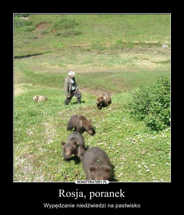 Rosja, poranek – Wypędzanie niedźwiedzi na pastwisko