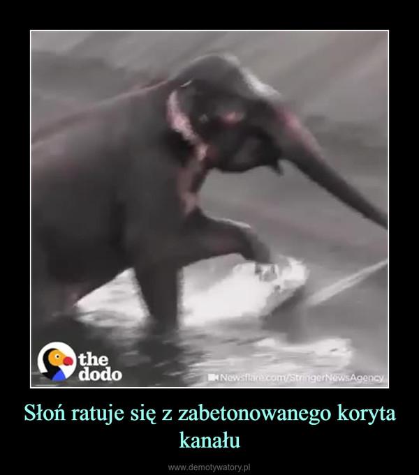 Słoń ratuje się z zabetonowanego koryta kanału –
