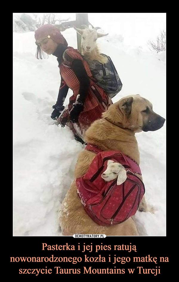 Pasterka i jej pies ratują nowonarodzonego kozła i jego matkę na szczycie Taurus Mountains w Turcji –