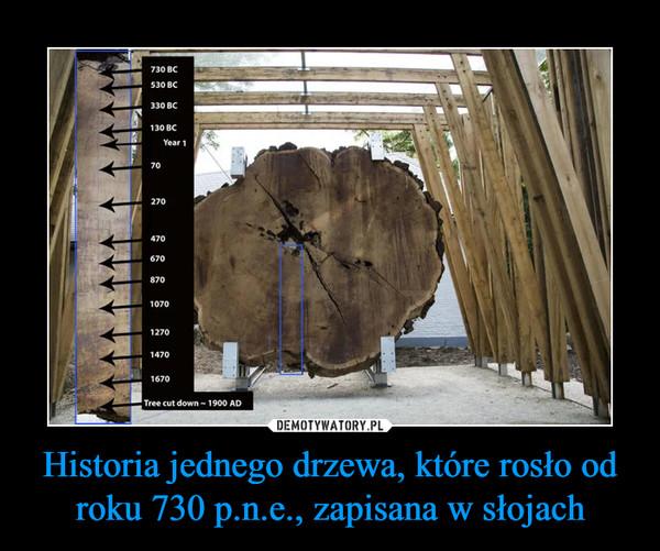 Historia jednego drzewa, które rosło od roku 730 p.n.e., zapisana w słojach –