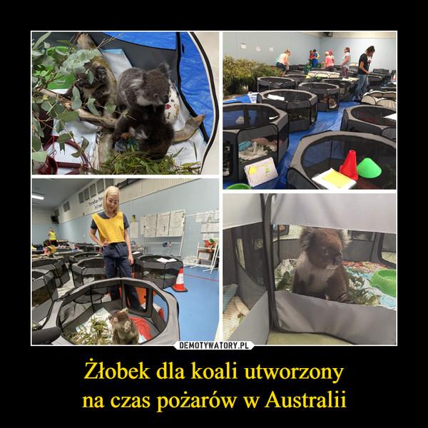 Żłobek dla koali utworzonyna czas pożarów w Australii –
