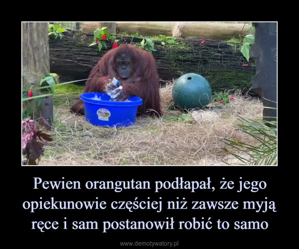 Pewien orangutan podłapał, że jego opiekunowie częściej niż zawsze myją ręce i sam postanowił robić to samo –