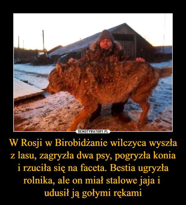 W Rosji w Birobidżanie wilczyca wyszła z lasu, zagryzła dwa psy, pogryzła konia i rzuciła się na faceta. Bestia ugryzła rolnika, ale on miał stalowe jaja i udusił ją gołymi rękami –