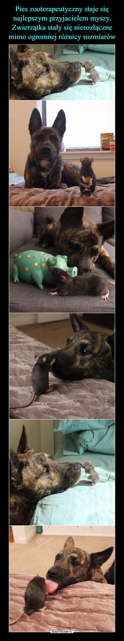 Pies zooterapeutyczny staje się najlepszym przyjacielem myszy. Zwierzątka stały się nierozłączne mimo ogromnej różnicy rozmiarów