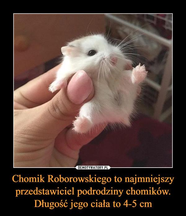 Chomik Roborowskiego to najmniejszy przedstawiciel podrodziny chomików. Długość jego ciała to 4-5 cm –
