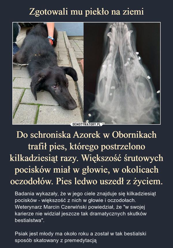 """Do schroniska Azorek w Obornikach trafił pies, którego postrzelono kilkadziesiąt razy. Większość śrutowych pocisków miał w głowie, w okolicach oczodołów. Pies ledwo uszedł z życiem. – Badania wykazały, że w jego ciele znajduje się kilkadziesiąt pocisków - większość z nich w głowie i oczodołach. Weterynarz Marcin Czerwiński powiedział, że """"w swojej karierze nie widział jeszcze tak dramatycznych skutków bestialstwa"""".Psiak jest młody ma około roku a został w tak bestialski sposób skatowany z premedytacją"""