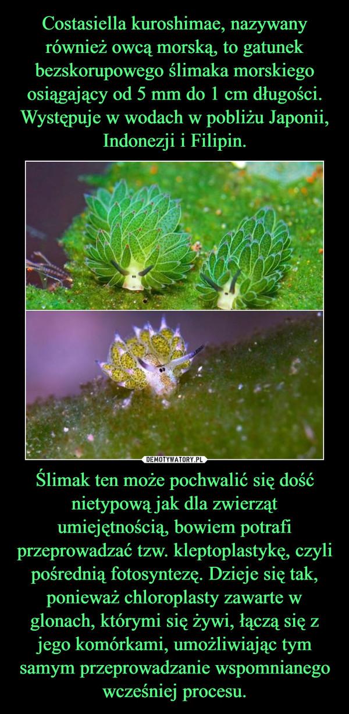 Ślimak ten może pochwalić się dość nietypową jak dla zwierząt umiejętnością, bowiem potrafi przeprowadzać tzw. kleptoplastykę, czyli pośrednią fotosyntezę. Dzieje się tak, ponieważ chloroplasty zawarte w glonach, którymi się żywi, łączą się z jego komórkami, umożliwiając tym samym przeprowadzanie wspomnianego wcześniej procesu. –