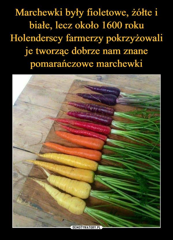 Marchewki były fioletowe, żółte i białe, lecz około 1600 roku Holenderscy farmerzy pokrzyżowali je tworząc dobrze nam znane pomarańczowe marchewki